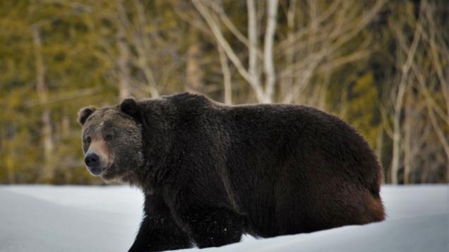 科学家:灰熊扩大地盘但仍需保护