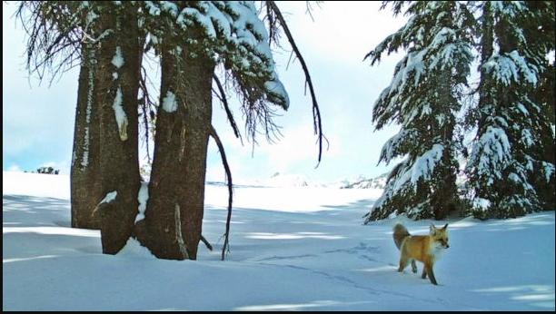 内华达山脉红狐被列为联邦濒危物种