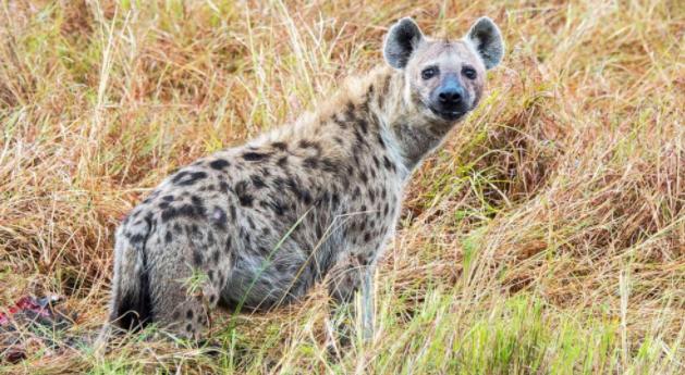 """鬣狗被认为是""""世界上的恶棍"""",在将养分返回到沙漠土壤中起着关键作用"""